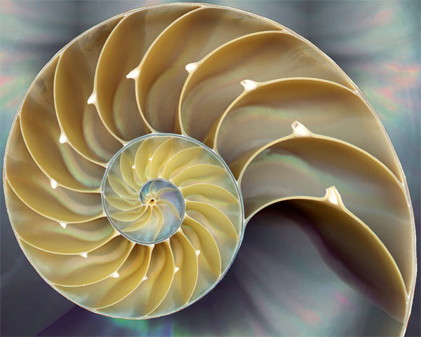 Cross-section of nautilus shell