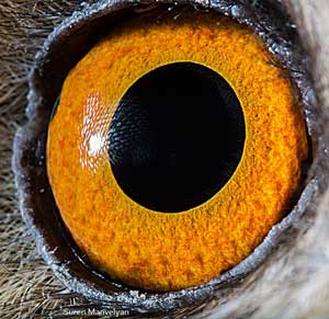 Long-eared Owl eye
